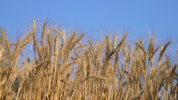 Thumbnail for Barley Farm On Blue Sky