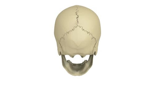 Modèle de crâne