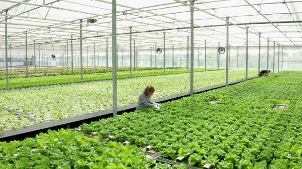 Thumbnail for Aerial Footage in a Greenhouse with Moder Agriculture Technology