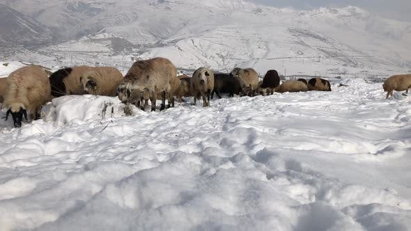 Thumbnail for Flock Of Sheep On A Snowy Field Stock