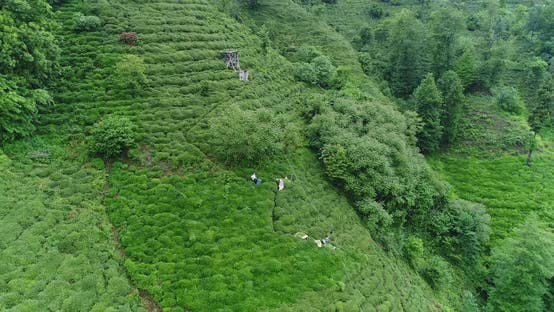 Tea Terrace And Trees Aerial View