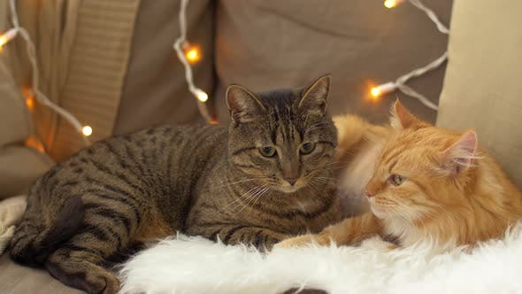 Thumbnail for Two Cats Lying on Sofa with Sheepskin at Home