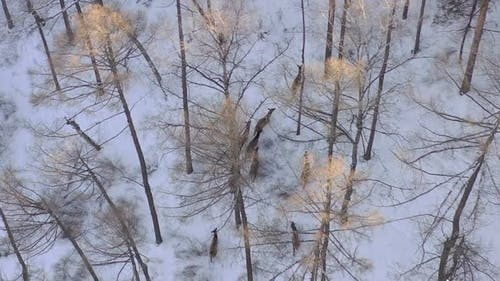 Aerial View of a Herd of Wild Deer in a Snow-covered Forest in the Siberian Nature Reserve Stolby