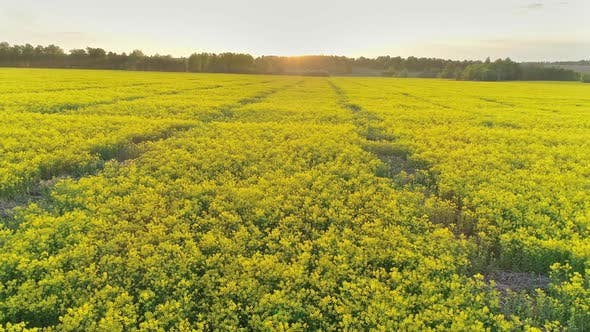 Thumbnail for Aerial View on Flowering Rapeseed Field at Sunset