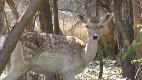 Fallow Deer Doe Female Lone Standing Looking Around