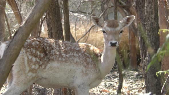 Thumbnail for Fallow Deer Doe Female Lone Standing Looking Around
