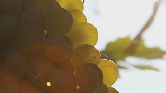 Thumbnail for White Wine Grapes 4