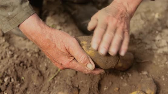 Farmer Inspects His Crop of Potatoes Hands Stained with Earth.