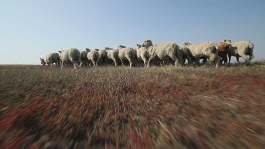 Thumbnail for Sheep Grazing 1