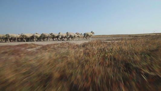 Thumbnail for Sheep Grazing 2