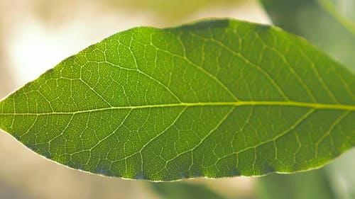 Laurus nobilis laurel tree green leave  outdoor slow panning shallow DOF  4K 2160p UHD footage - Lau