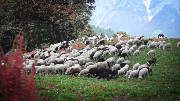 Thumbnail for Flock Of Sheep Walking Down The Mountain Hill And Feeding On The Green Grass
