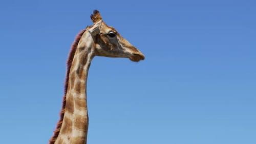 Close Up Footage of Wild Giraffe African Giraffe