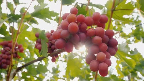 Juicy Clusters of Grapes Ripen on the Vine