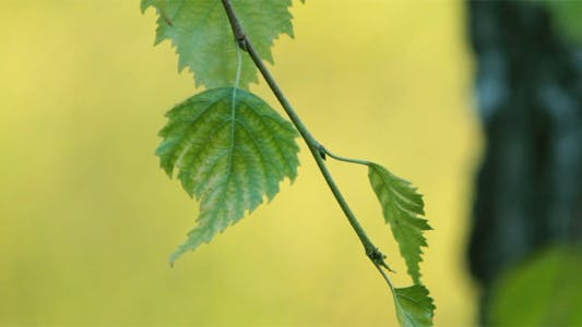 Cover Image for Green Leaves Of Birch 2