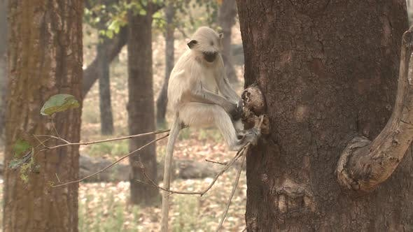 Thumbnail for Gray Langur Monkey Lone Sitting Resting in Spring in India