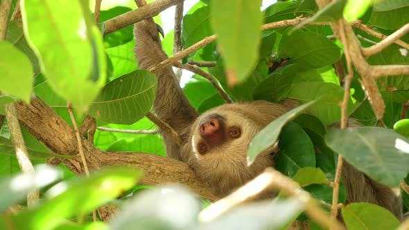 Thumbnail for Three-toed Sloth Sleeping on a Branch in the Rainforest