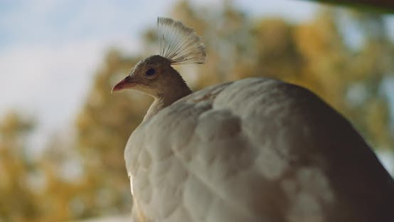 Thumbnail for Behind shot of white peacock, with yellow leaves on the background. BMPCC 4K