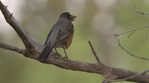 Thumbnail for Robin Adult Lone Predation Kill Capture Carrying in Spring Worms
