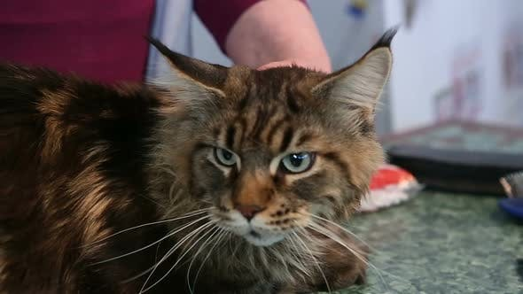Thumbnail for Trembling Maine Coon Cat Lying on Table in Veterinary Clinic, Health Problems