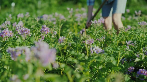 Thumbnail for An Unrecognizable Woman Weeds a Garden with an Early Potato Variety