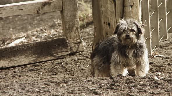 Thumbnail for Gray Maltese Dog Barking in the Farm, near the Wooden Fence.