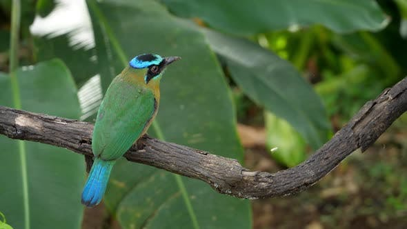 Cover Image for Colorful Motmot Bird in its Natural Habitat in the Forest Woodland