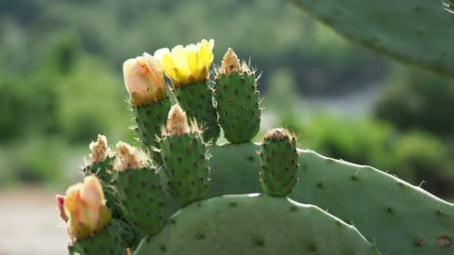 Cactus Opuntia Prickly Pear with Edible Yellow Fruits. Turkey.