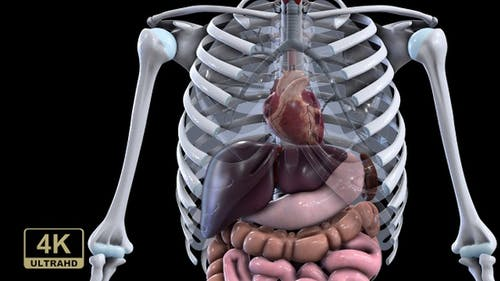 Chest With Transparent Lungs