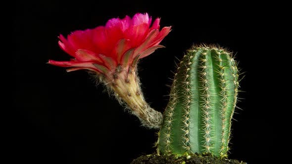 Thumbnail for Time Lapse Cactus Flower Opening