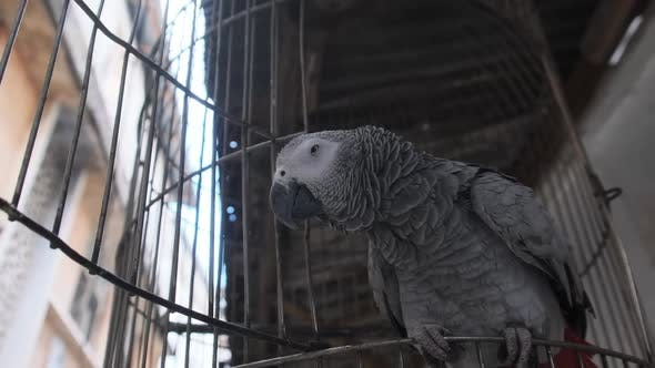 African Gray Parrot in a Cage on a Dirty Street in Stone Town Zanzibar Africa