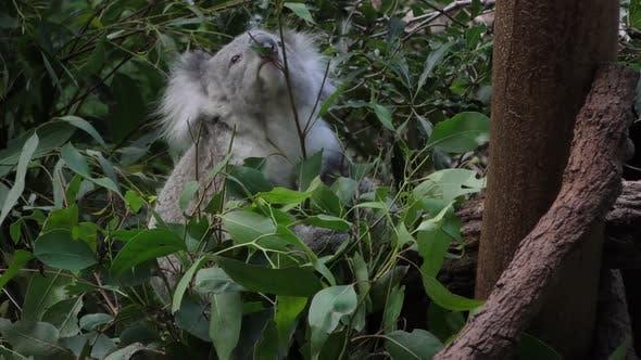 Thumbnail for Koala Adult Lone Eating Feeding Browsing Dusk Twilight Evening