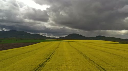 Rapeseed Plantations Under Cloudy Sky