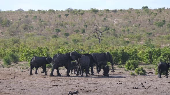 Mother elephant and calf joining the herd