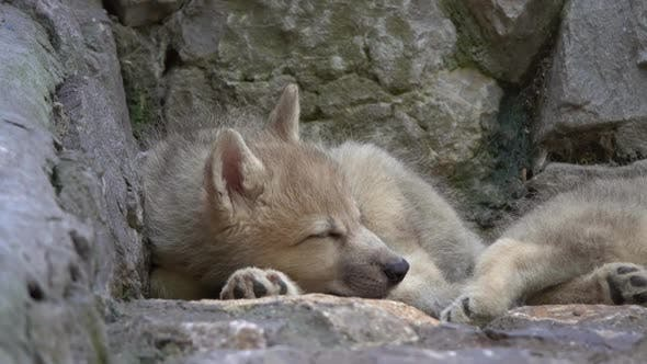 Thumbnail for White Wolf Cub on the Rocks