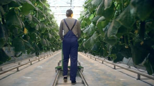 Worker Walking in Hydroponic Greenhouse