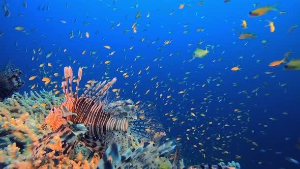 Thumbnail for Underwater Orange Fish Scenery Lionfish