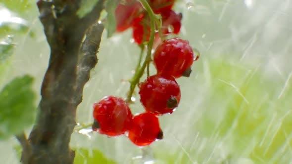 Thumbnail for Schließen Ansicht einer roten Johannisbeere Pflanze mit reifen Beeren bei der regen