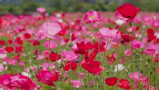 Thumbnail for Pink Poppy Flower Field Garden