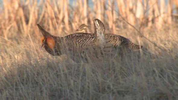 Thumbnail for Prairie Chicken Male Adult Lone Breeding in Spring Courtship Display Lek Booming