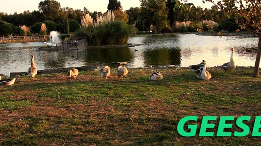 Thumbnail for Autumn And Geese