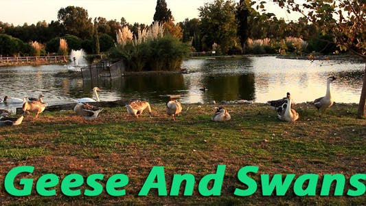 Thumbnail for Geese And Swans 2