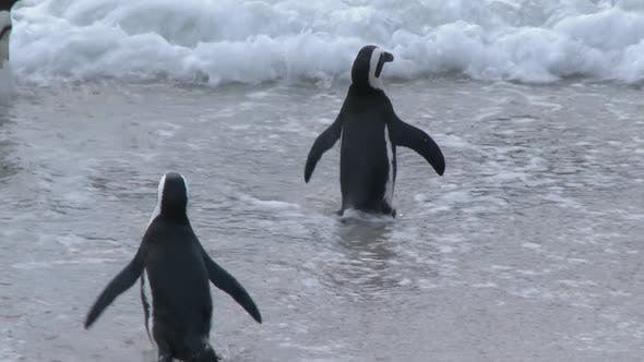 Thumbnail for Penguin Swimming and Walking