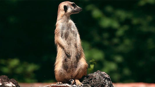 Cover Image for Meerkat.