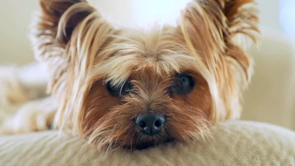 Thumbnail for Close-up of a Neat Yorkie with Silky and Straight Golden Coat.