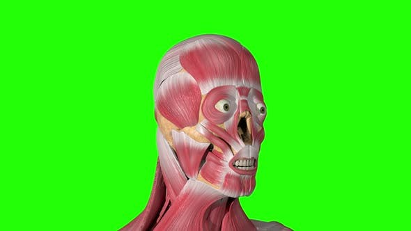 Thumbnail for Frontalis Muscle