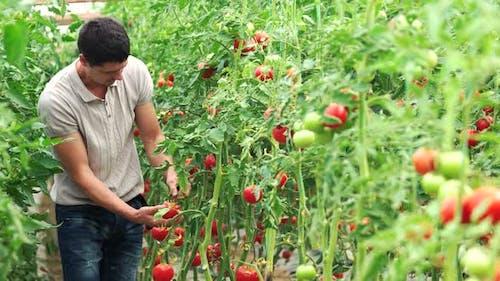 Male Farmer Checking Quality of Tomatoe Plants