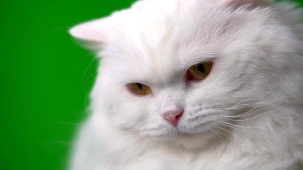 Thumbnail for Adorable Cute Domestic Pet. Fluffy White Cat Isolated on Green Background in Studio. Animals, Nature