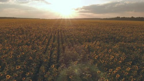 A Large Field with a Sunflower at Sunset