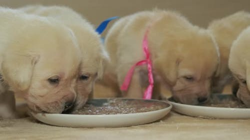 Labrador Puppies Eats From a Plate